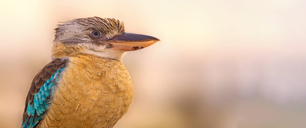 A photo of kookaburra looking to the right.