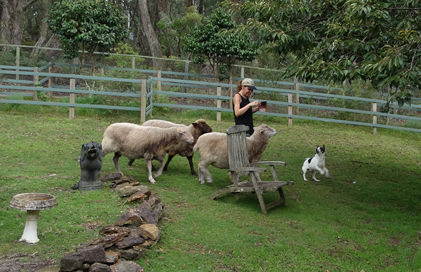 A photo of a paddock with Teya walking, a small white dog is jumping in front of her. She is surrounded by three sheep.