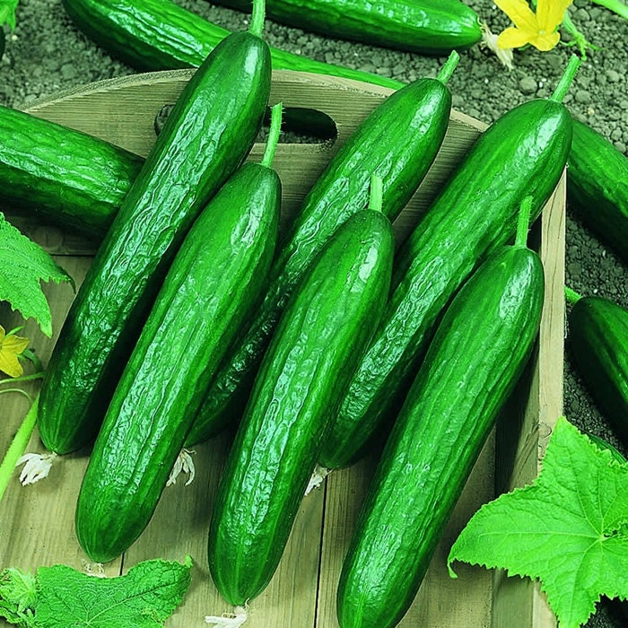 Beit Alpha Heirloom Cucumber Garden Seeds