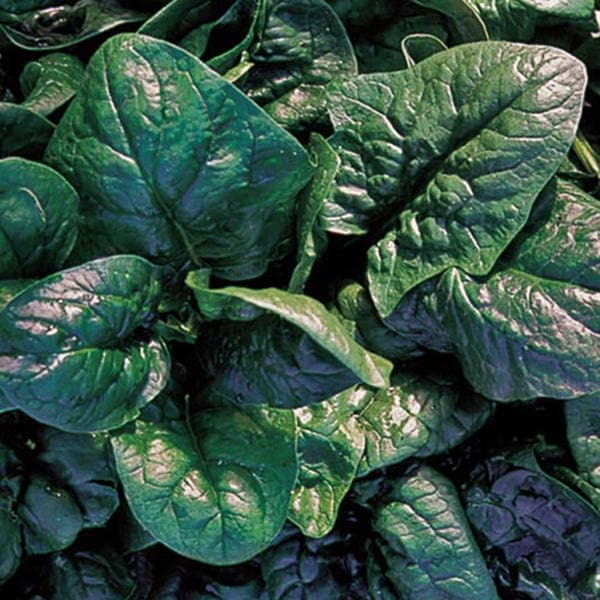 Viroflay Spinach Heirloom Garden Seed Non-GMO 100+ Seeds