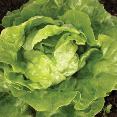 Tom Thumb Butterhead Lettuce Heirloom Seeds Naturally Grown Non-GMO - Open Pollinated Gardening