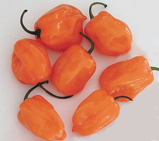Orange Habanero Hot Pepper Seeds Non-GMO Naturally Grown Open Pollinated Heirloom Gardening