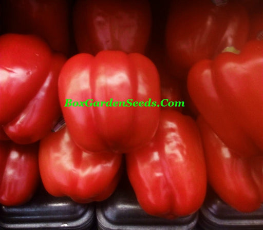 Colorful Bell Pepper Collection Heirloom Seeds  Gifts for Gardeners