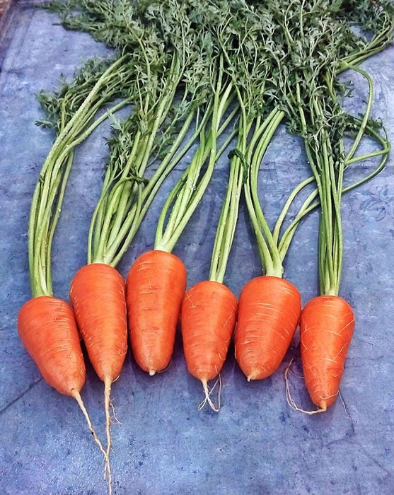 Chantenay Red Core Carrot Heirloom Seeds