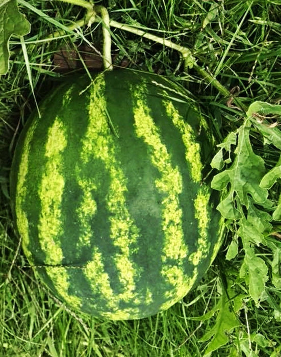Watermelon Striped Klondike Blue Ribbon Heirloom Seeds