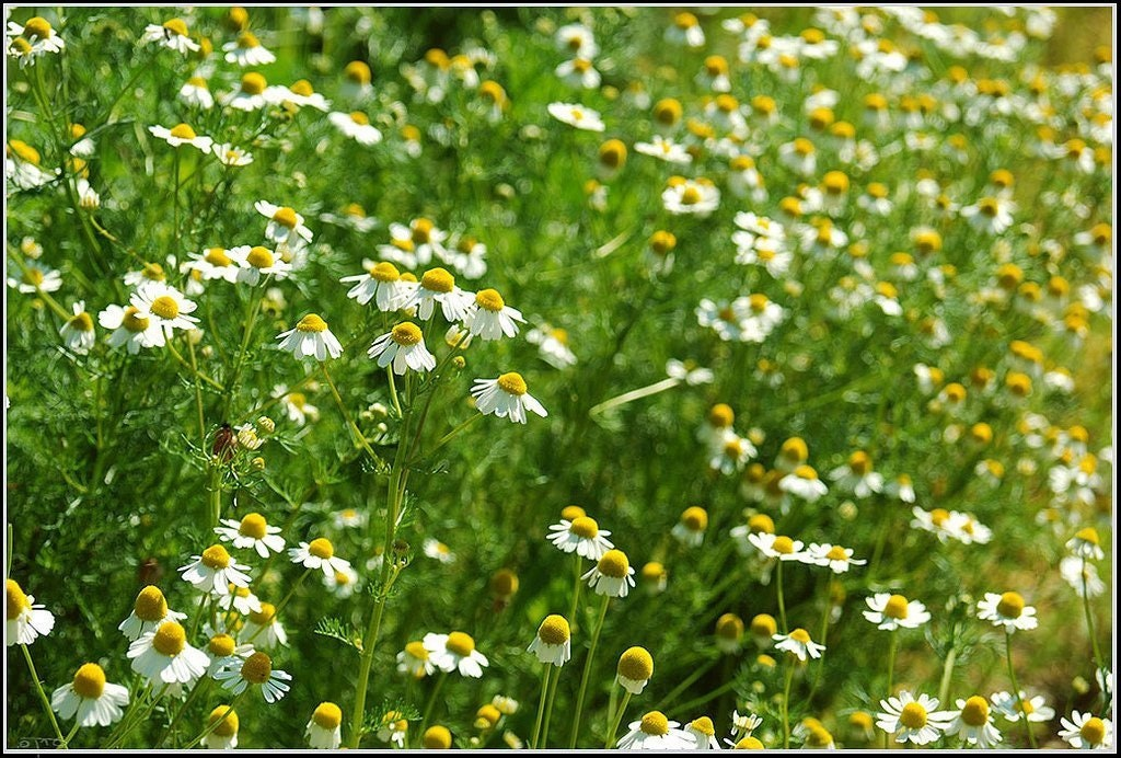 Chamomile German Heirloom Herb Garden Seeds Non-GMO Medicinal Flowering and Edible