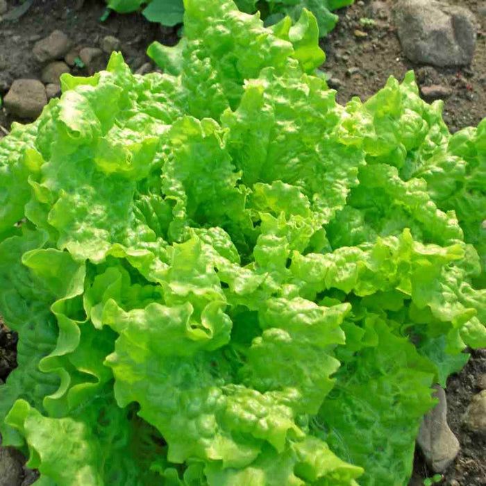 Black Seeded Simpson Lettuce Heirloom Garden Seed Non-GMO 200+ Seeds