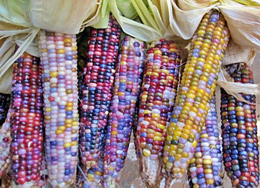 Glass Gem Corn Cherokee Heirloom Corn Seeds Non-GMO Rare Seeds Original Strain