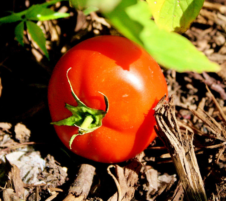 Rutgers Tomato Heirloom Garden Seed Non-GMO Grown To Organic Standards Open Pollinated 30+ Seeds Gardening