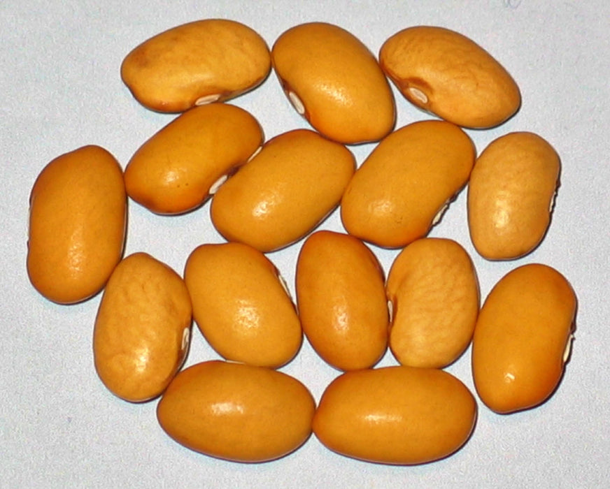 Nez Perce Bush Dry Bean Heirloom Garden Seed