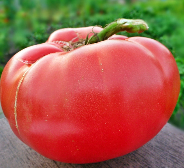 Bulgarian Giant Tomato Heirloom Garden Seed Non-GMO 30+ Seeds Pink Beefsteak Organic Standards Open Pollinated Gardening