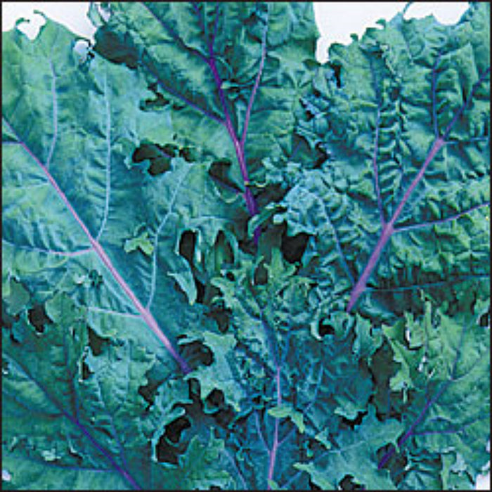 Heirloom Kale Garden Collection