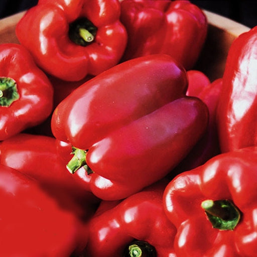 Autumn Bell Sweet Pepper Heirloom Garden Seed Non-GMO 30+ Seeds Delicious Bell Pepper Widely Adaptable Sweet and Crisp