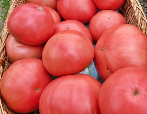 Bulgarian Giant Tomato Heirloom Garden Seed Non-GMO - 30+ Seeds Pink Beefsteak Organic Standards Open Pollinated Gardening