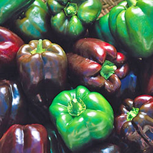 Gourmet Rainbow Mix Sweet Bell Pepper Seeds Open Pollinated Non-GMO 30+ Seeds