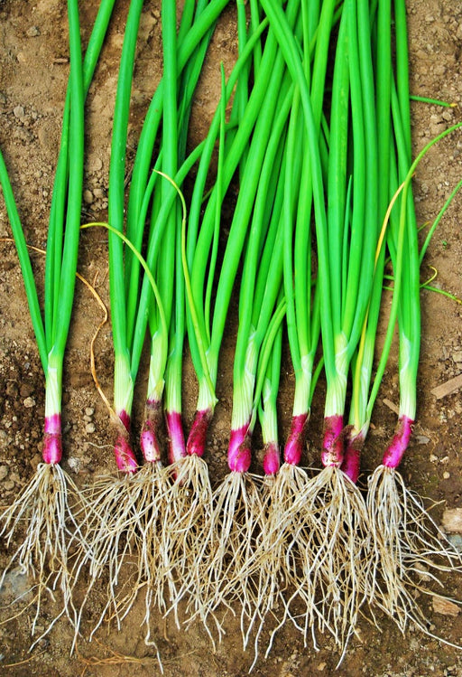 Deep Purple Bunching Onion Heirloom Garden Seed Non GMO 100+ Seeds Red Buncher