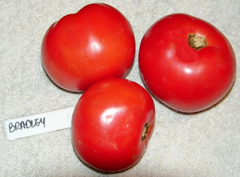 Bradley Tomato Heirloom Garden Seed Non-GMO - 30+ Seeds Pink Slicer Grown To Organic Standards Open Pollinated Gardening