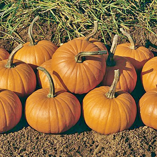 Baby Bear Heirloom Pumpkin Seeds Natural Non-GMO 15+ Seeds Specialty Gardening