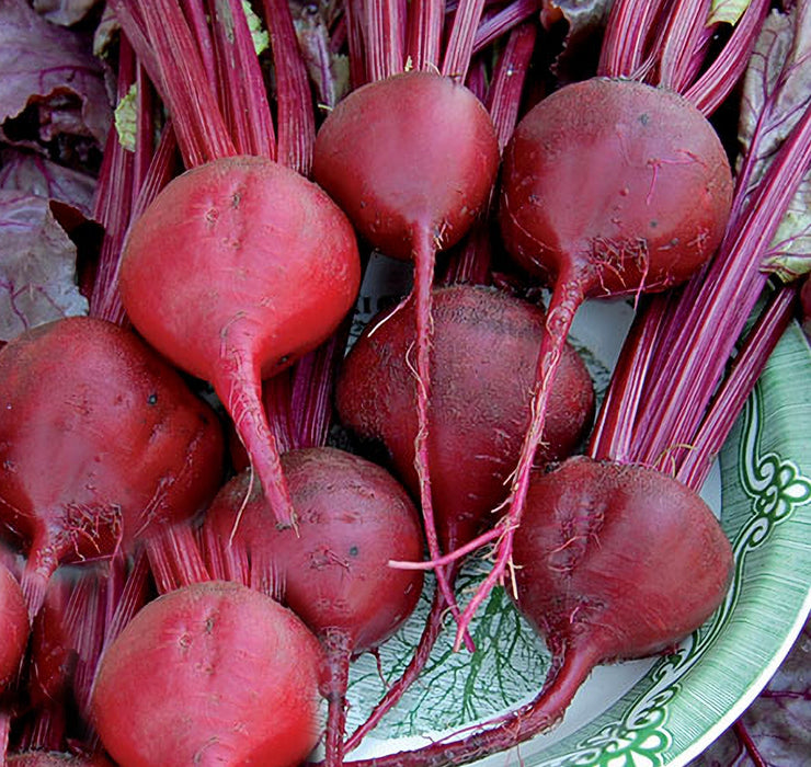 Bull's Blood Beet Seeds Non-GMO - Naturally Grown Open Pollinated Heirloom Gardening