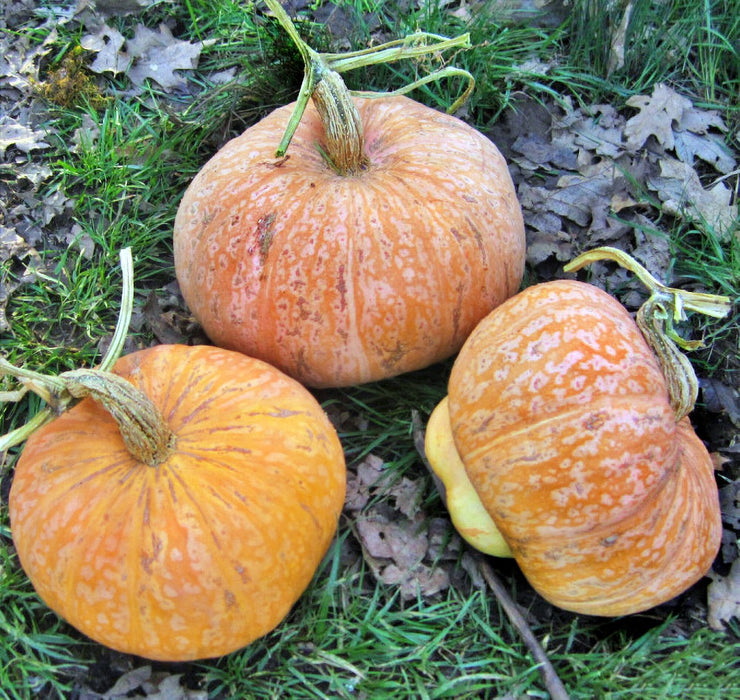 Lower Salmon River Winter Squash Seeds Non-GMO - Naturally Grown Open Pollinated Gardening