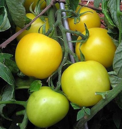 Yellow Wendy Tomato Heirloom Garden Seed Non-GMO 30+ Seeds Gourmet Extra Early Cold Tolerant Sweet Tomato Flavor Gardening