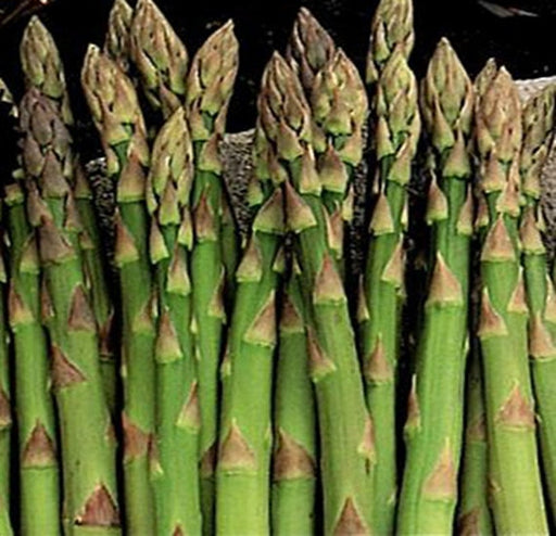 Asparagus Mary Washington Heirloom Garden Seed Non-GMO Marvelously Productive  Best Open Pollinated Gardening