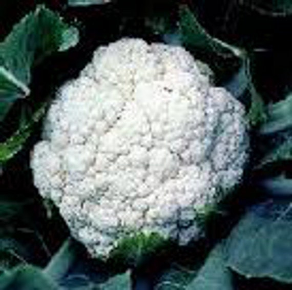 Self-Blanche Heirloom Cauliflower Garden Seeds Non-GMO Naturally Grown Open Pollinated Heirloom Gardening