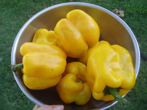 Golden Cal Wonder Pepper Heirloom Garden Seed Non-GMO - Naturally Grown Open Pollinated 30+ Seeds Gardening