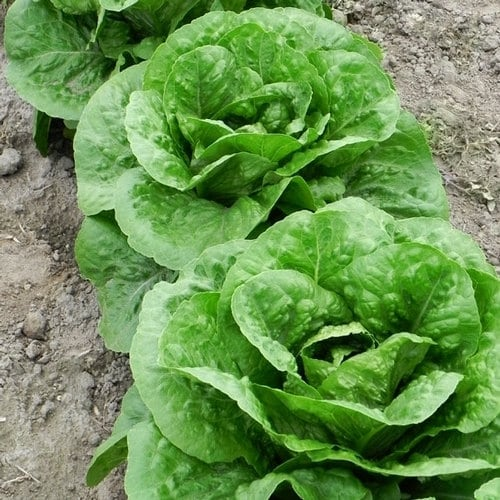 Parris Island Cos Romaine Lettuce Heirloom Garden Seed Non-GMO - 200+ Seeds