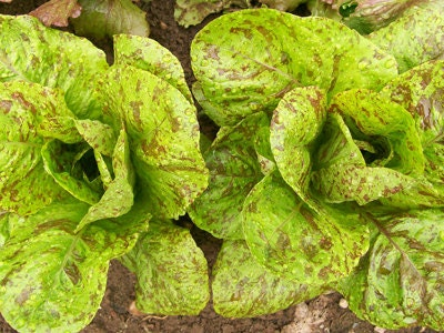 Forellenschluss Speckled Trout Back Heirloom Lettuce Seeds Austrian