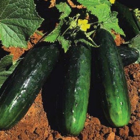 Spacemaster 80 Heirloom Cucumber Seeds