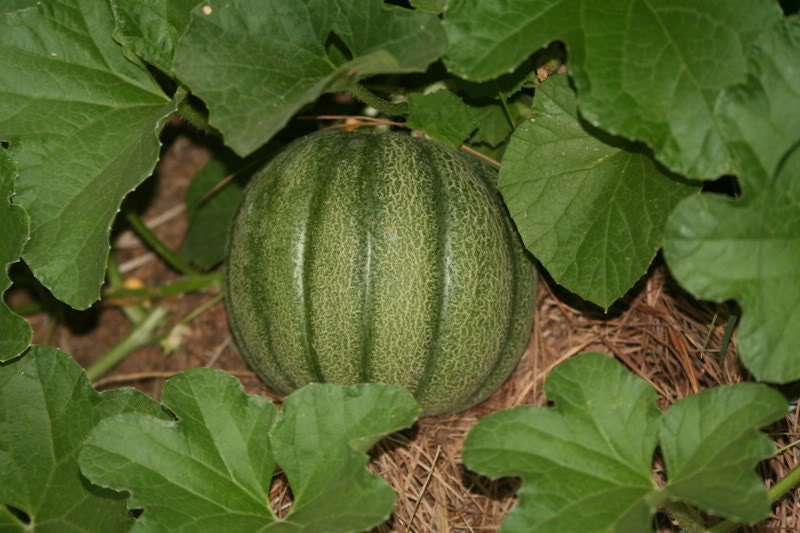 Minnesota Midget Cantaloupe Heirloom Melon Seeds