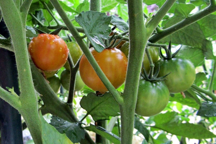 Isis Candy Cherry Tomato Heirloom Garden Seed Non-GMO  30+ Seed Super Sweet Organic Standards Open Pollinated Gardening