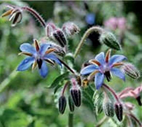 Borage Heirloom Herb Seeds Bee Bread Edible Flowers Medicinal