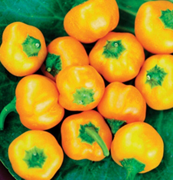 Yellow Mini Bell Sweet Pepper Seeds Heirloom Non-GMO 15+ Seeds Natural Grown Open Pollinated Gardening