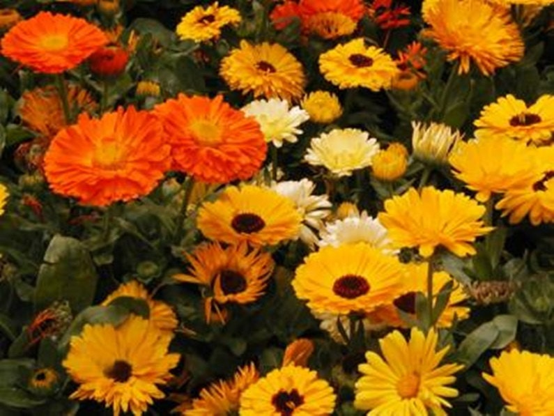 Calendula Medicinal Heirloom Herb Seeds Pot Marigold Edible Flower