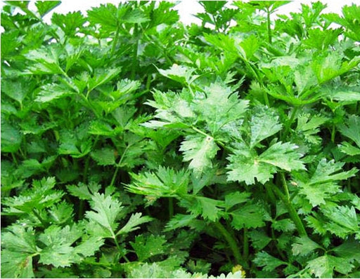 Nan Ling Cutting Leaf Celery Seeds Non-GMO -  Naturally Grown Open Pollinated Heirloom Gardening