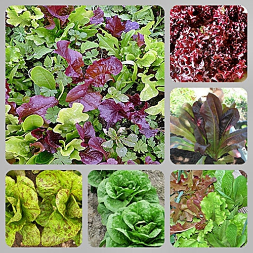 Best Heirloom Lettuce Seed Collection