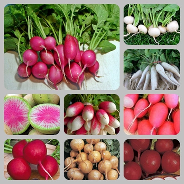 Extreme Radish Mix Heirloom Garden Seed Non-GMO 100+ Seeds Naturally Grown Open Pollinated Fun For Kids Gardening