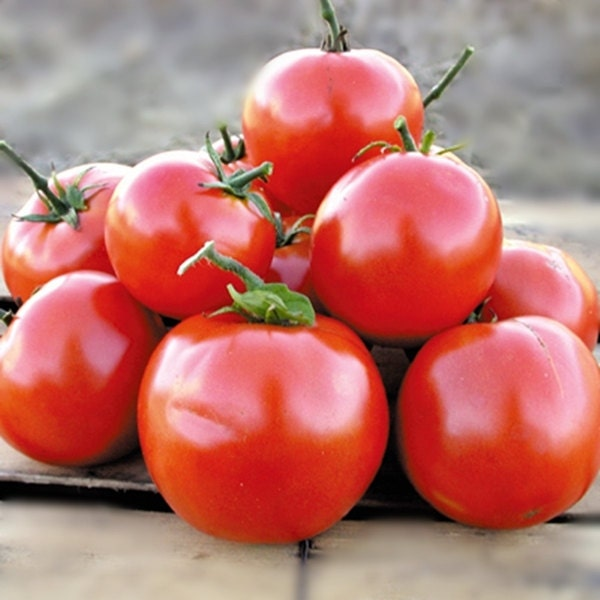 Manitoba Tomato Heirloom Garden Seed Non-GMO 30+ Seeds Extra Early Heavy Yields Open Pollinated Gardening