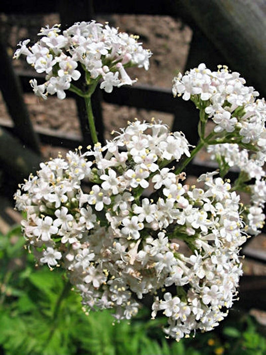 Valerian Medicinal Herb Heirloom Garden Seeds Non-GMO 100+ Seeds Natural Open Pollinated Gardening