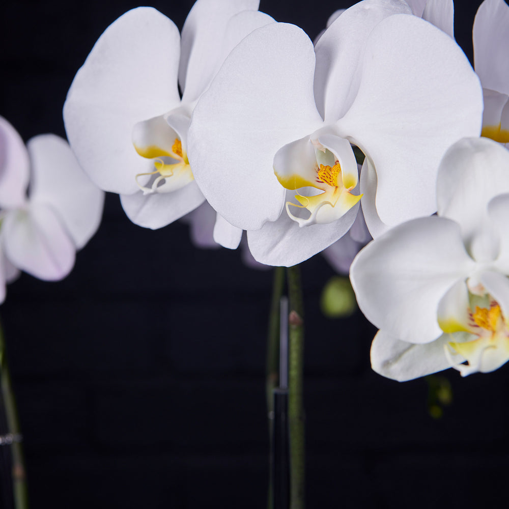 Detail of white phalaenopsis orchids.