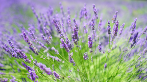 TOP 4 BENEFITS OF LAVENDER ESSENTIAL OIL FOR YOUR SKIN