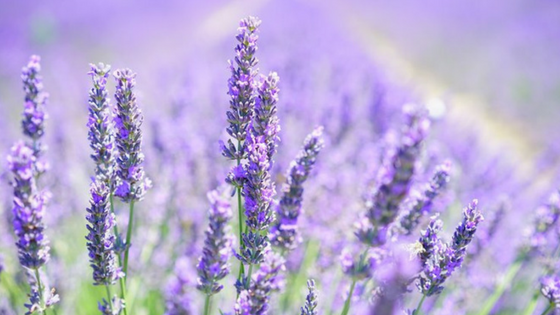 LAVENDER - WHERE DOES IT COME FROM?