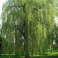 The WODK Willow Trees