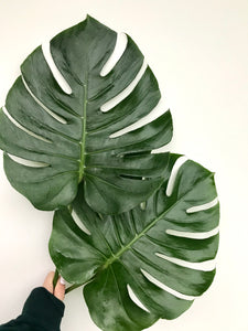 Monstera Stems