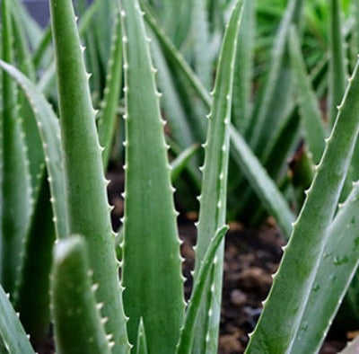 Aloe Vera (Macerated) Carrier Oil - Essentially You Oils