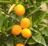 Bergamot (Calabrian) Essential Oil - Essentially You Oils - Ottawa Canada