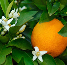 Orange Blood (Sicily) Essential Oil - Essentially You Oils