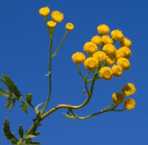 Blue Tansy Essential Oil - Essentially You Oils